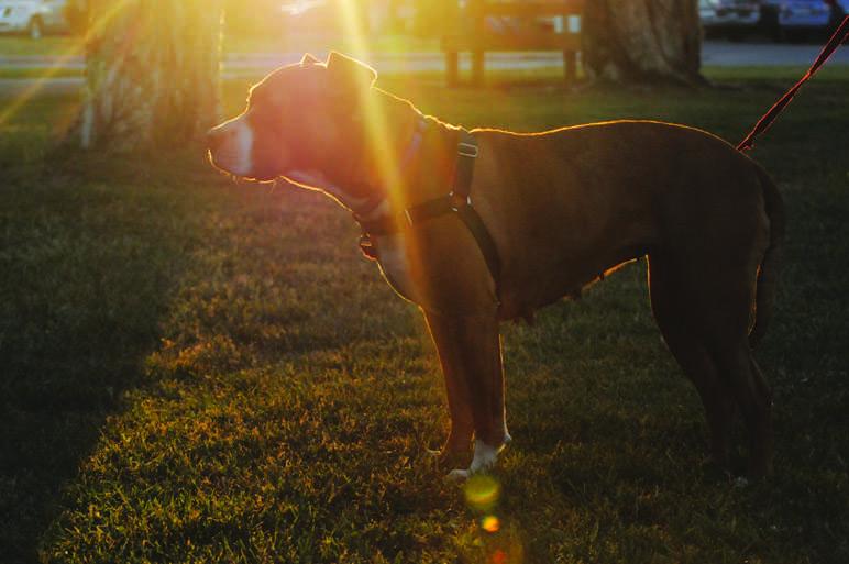 Pit Bulls: Reclaiming America's Dog – The Viking Magazine